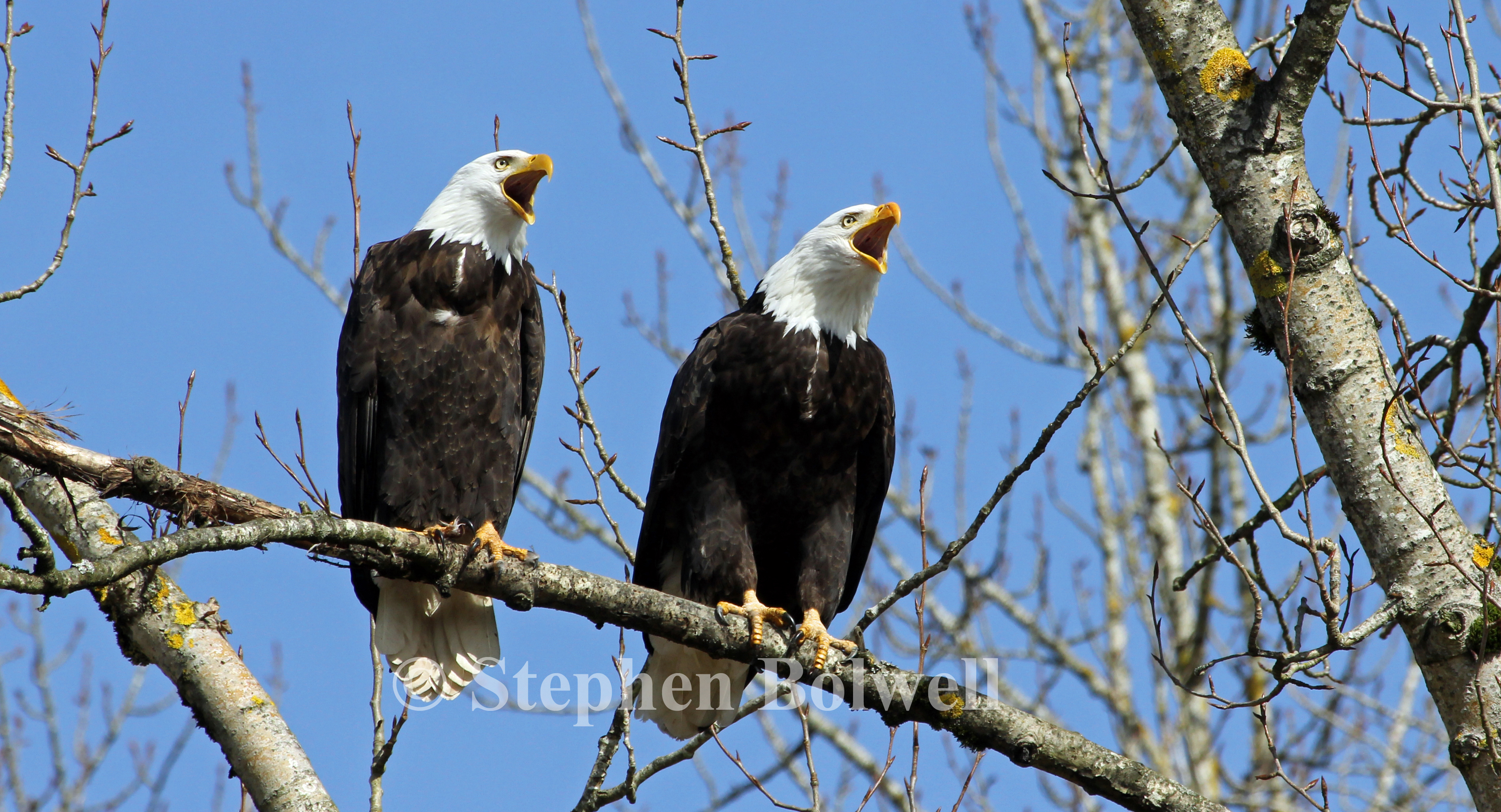 A pair of Canadian fish eagles close by the local nest having a chat. Well, more of a screech really.