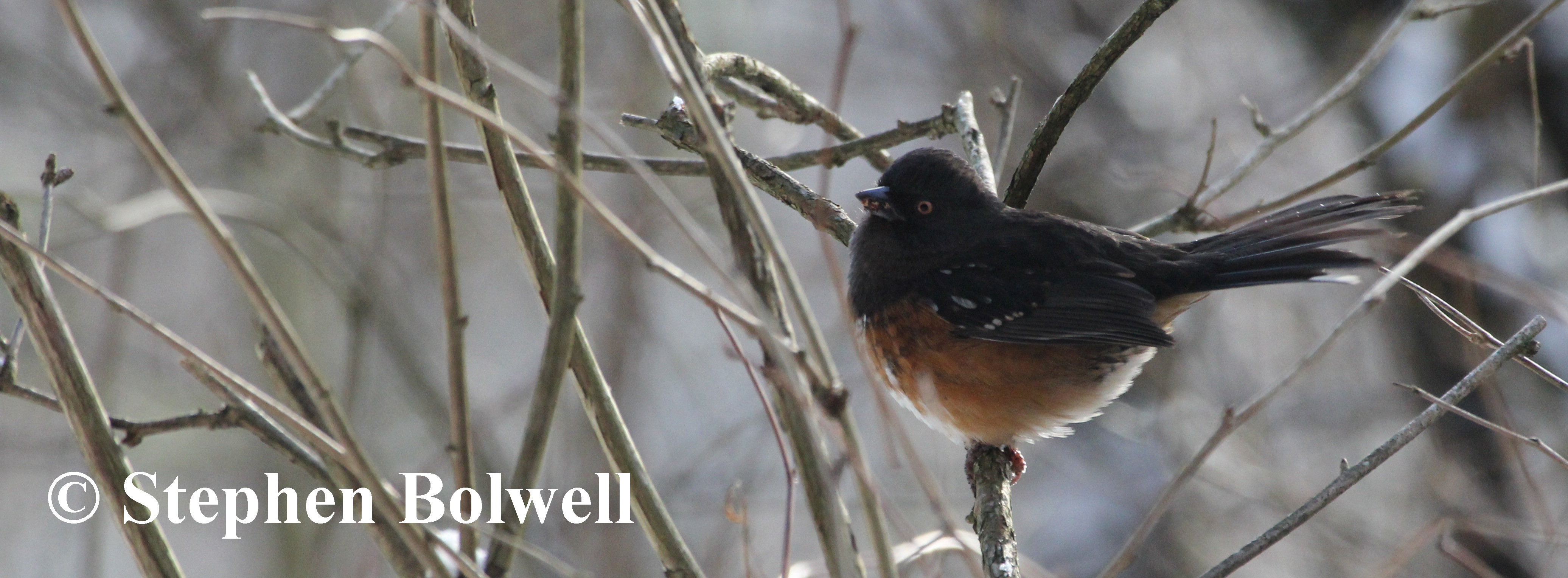 The Spotted Towhee is resident year round, but has been less frequently seen over the last twelve month, possibly due to disturbance caused by local urban development.