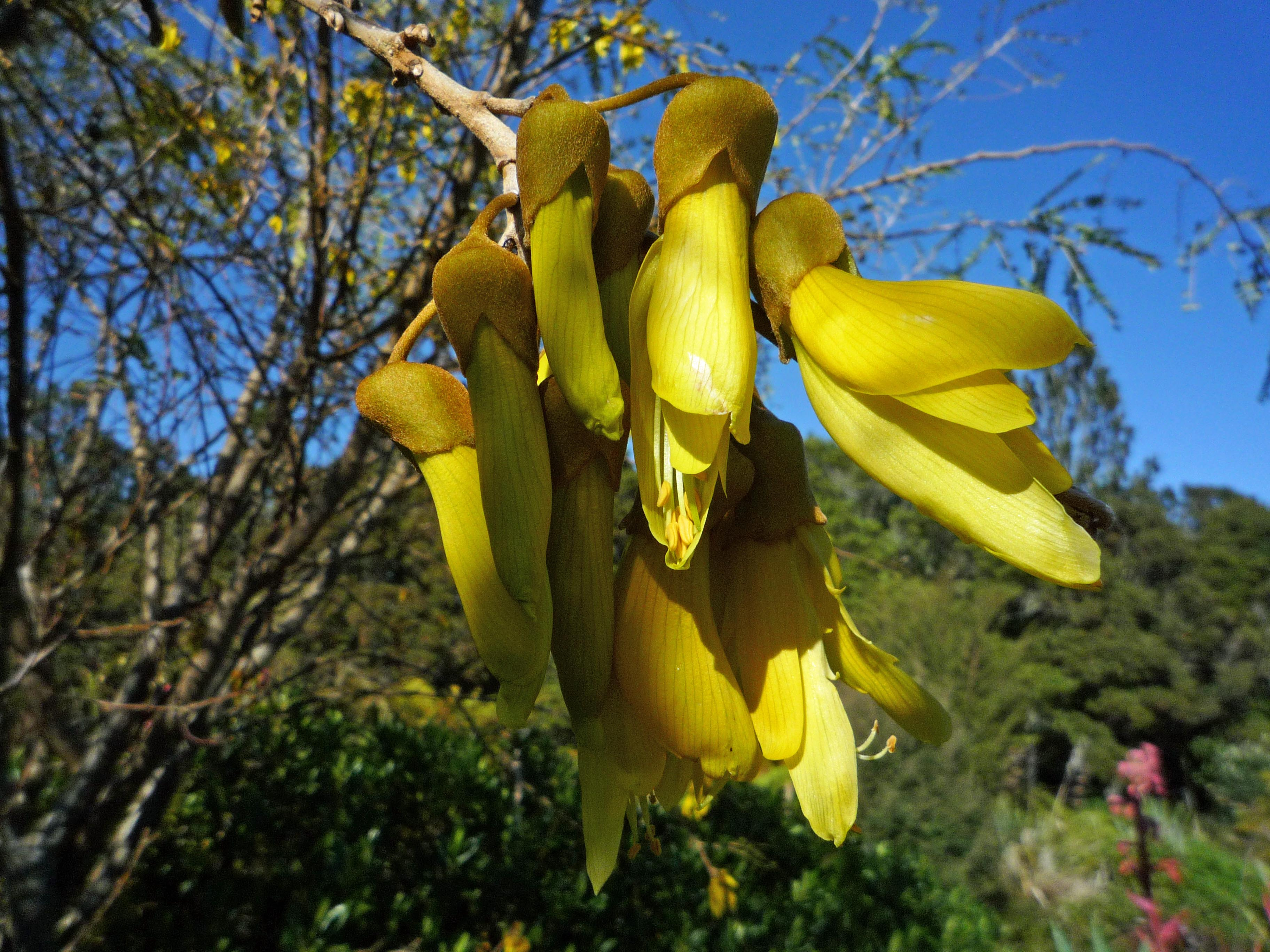 These are kowhai flowers and the tui love them and will travel some distance to find them - that is, if native pigeon haven't already stripped out the buds, which eventually  happens, but not until we have left our New Zealand home when the trees become big enough for it to be worthwhile for the pigeon to bother.