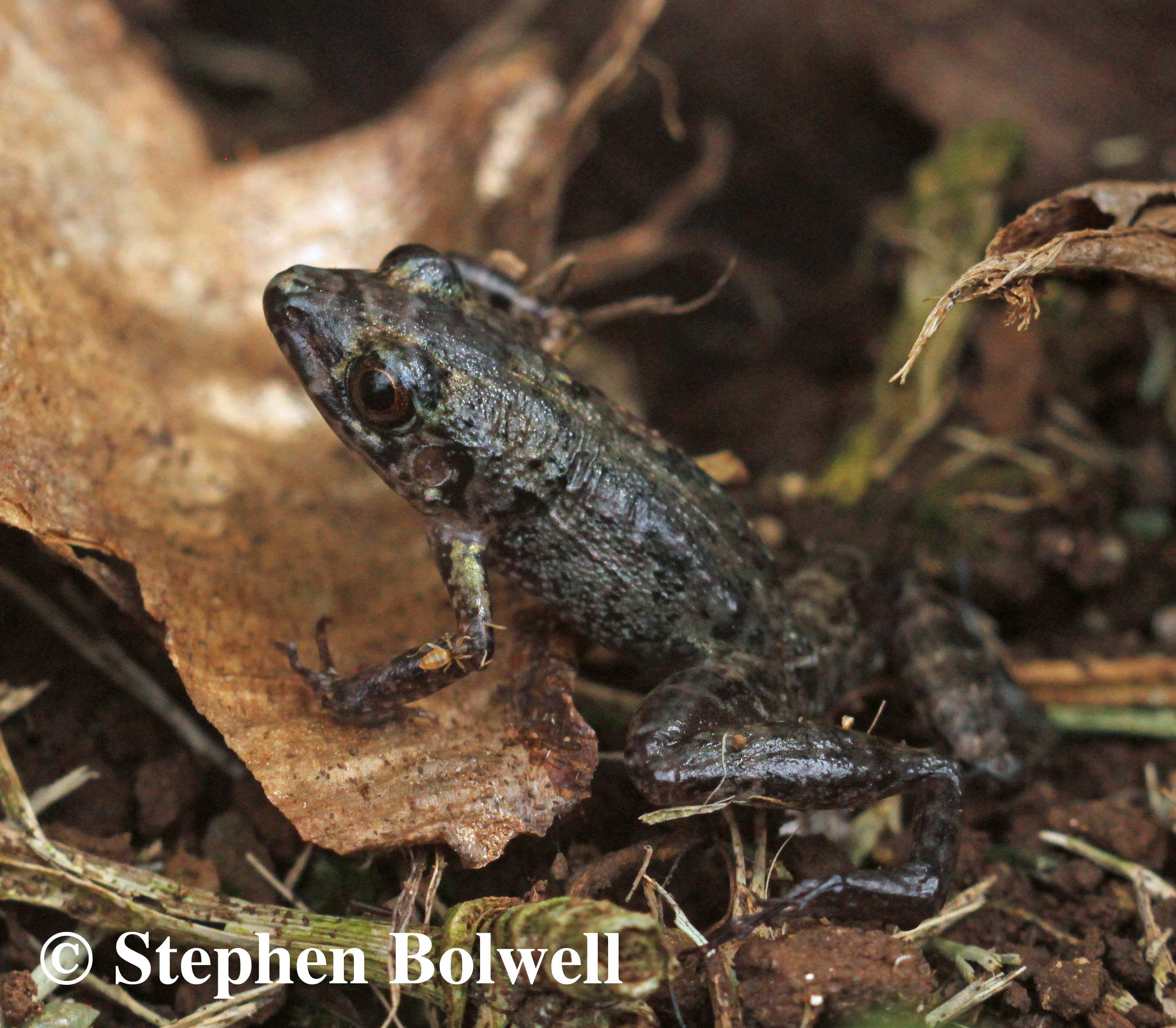 The greenhouse frog Eleutherodactylus planirostris is one of many introduced frogs eating their way through Hawaii's native invertebrate species.
