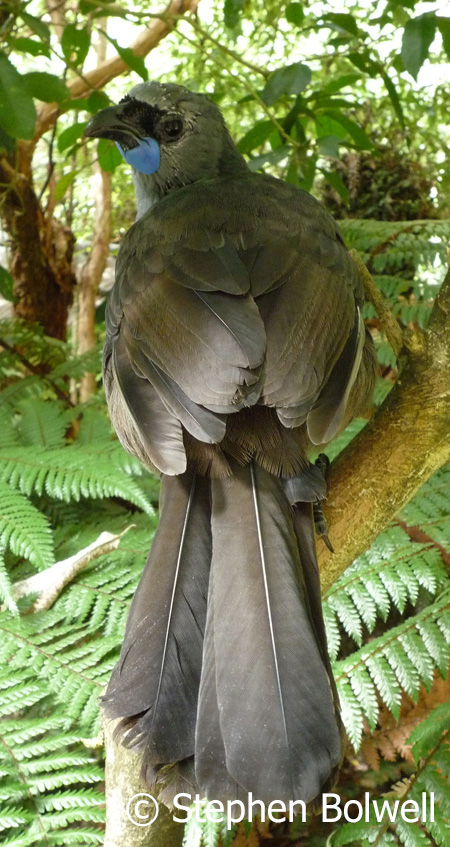 The South Island Kokako is a distinct species showing an orange-red wattle, but sadly it is now though to be extinct. The North Island Kokako has a blue wattle would be a great addition to the birdlife here.