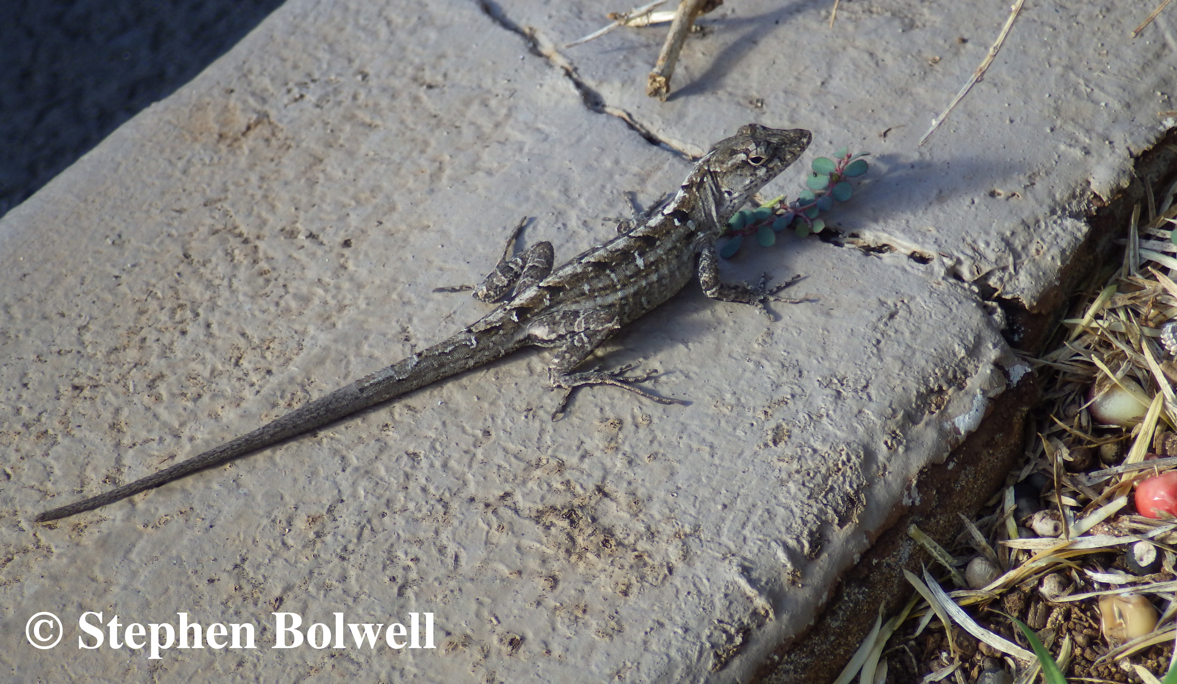 Brown Anoles are a recent introduction and have quickly become a serious pest