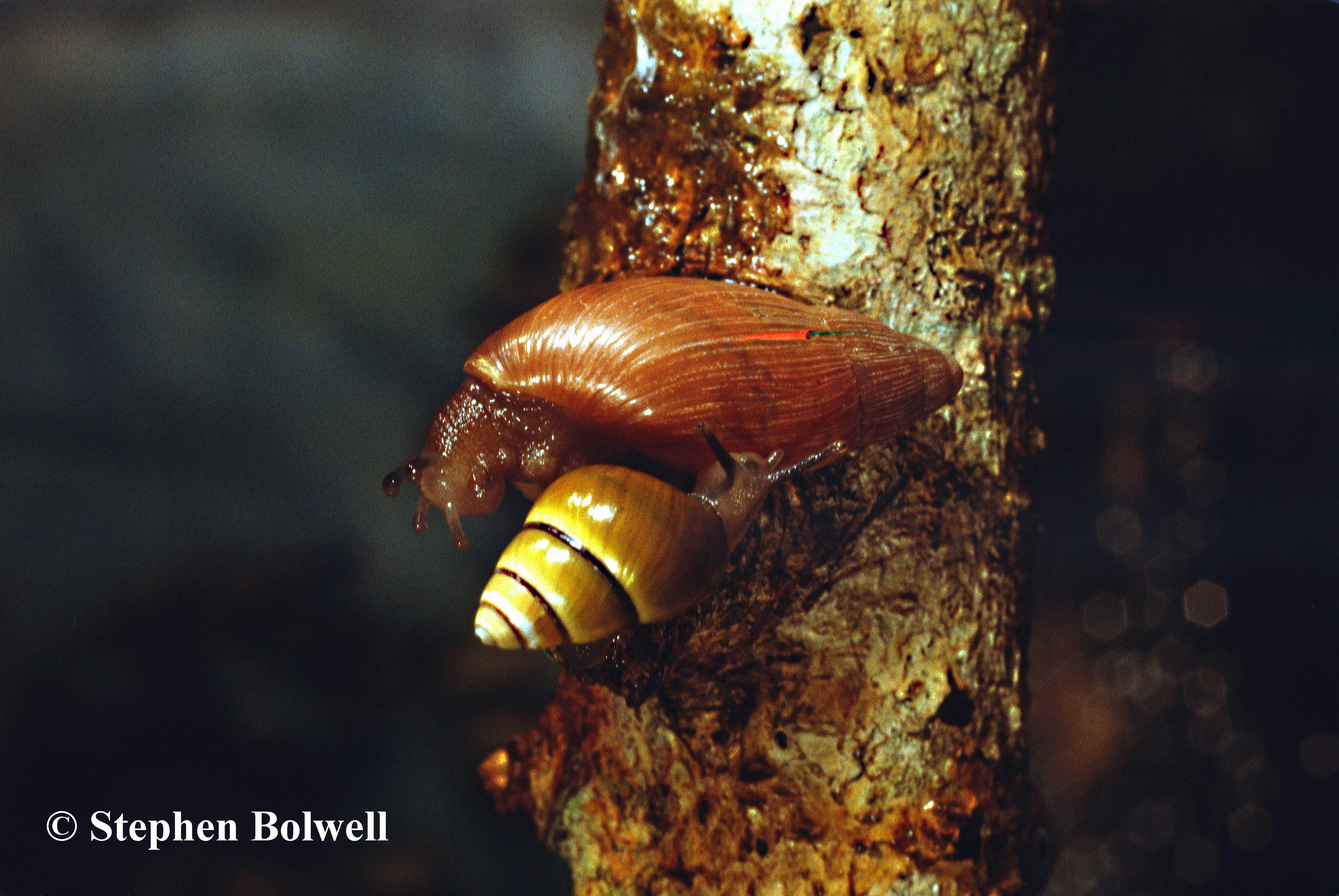 A native Hawain tree Snail (below) does the dance of death with an introduced predatory species - Achatina fulica which predates upon unfortunate natives.