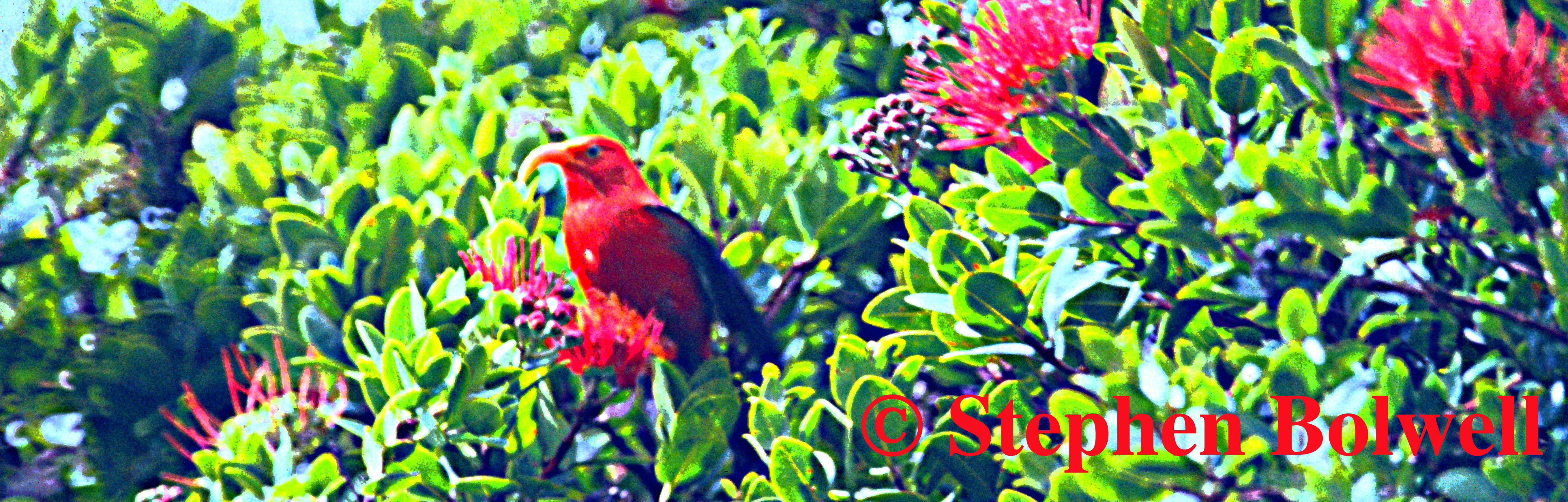 An Hawaiian Honey Creeper - The Iiwi.