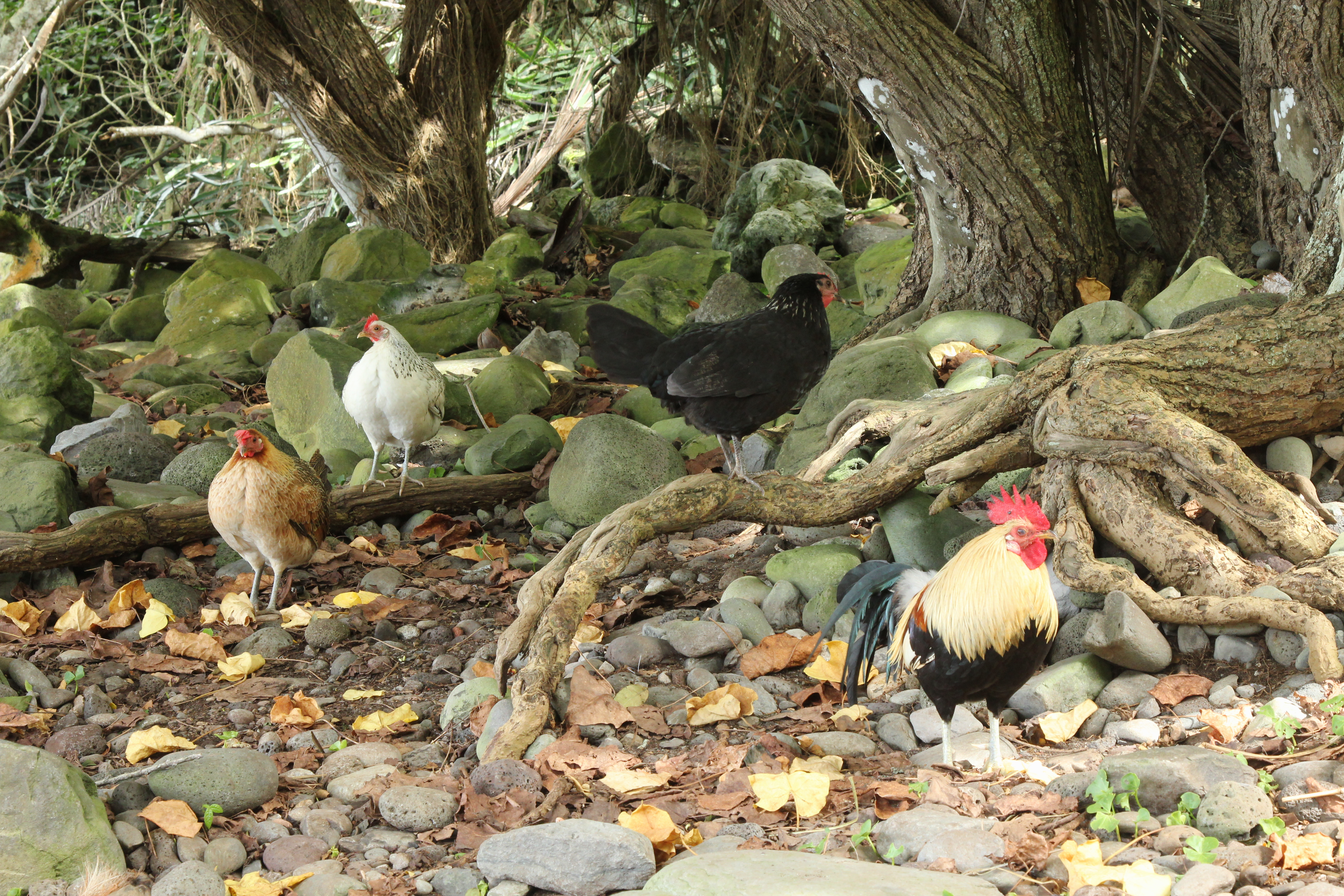 A recent picture of chicken wandering along delightful forest beach on Maui; eating their way through any native invertebrate they can grub up. Domestic birds have also brought alien forms of avian malaria to the islands pushing some Hawaiian birds to extinction.