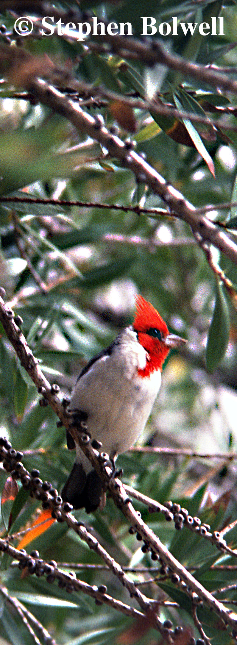 The red-crested cardinal is beautiful, but it is not a native bird.