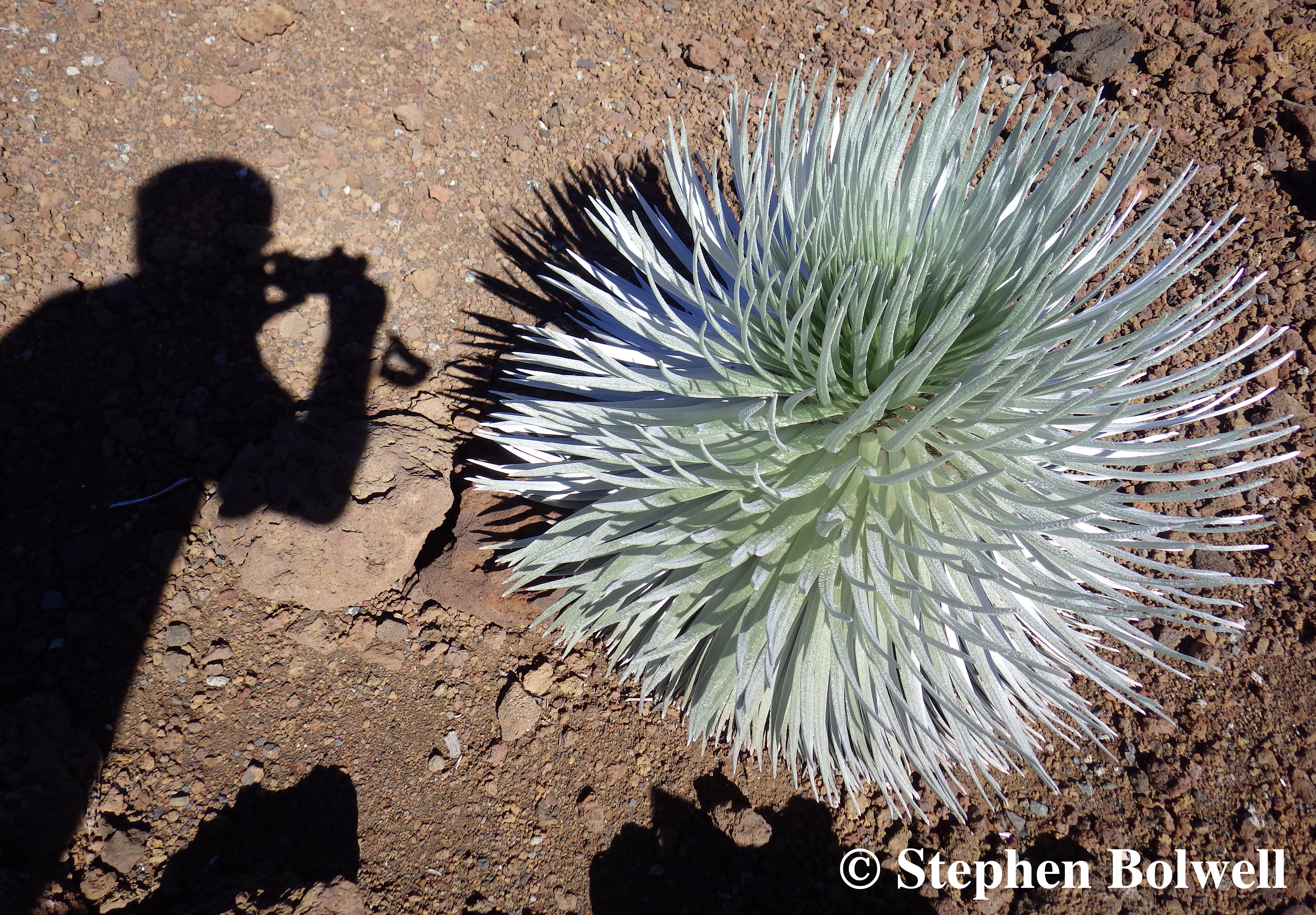 Photographing a young silversword in the stark lighting of a sunny day up on Haleakala.