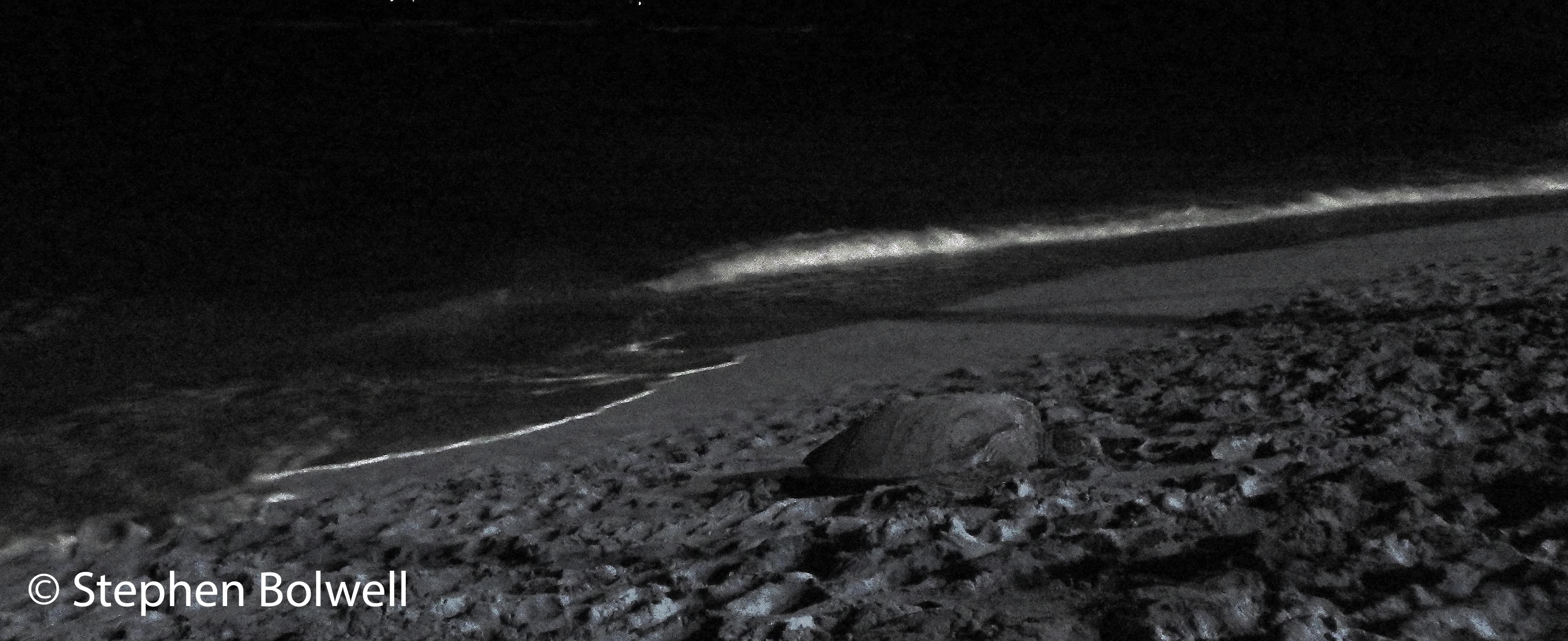 A mature female green turtle might return to a beach once or several times during the egg laying season, others may come to just rest up for a night, but unlike T.V. shows where there is often additional lighting it is often difficult to pick a turtle out on a beach at night when it has been churned by the comings and goings of other females. If the urge can be resisted it is best not to photograph or video turtles during egg laying, although camera technology has improved to the point where additional lighting  may be unnecessary and a long shot without lighting is less likely to cause a disturbance. Mobile phones are a curse - not because turtles find it difficult to take calls when they are egg laying, but because mobiles are carried by people who photograph everything from lunch through to coffee and such people are unlikely to pass up a picture of a chance encounter with a chance encounter with a turtle, they will often have their devices set on automatic which means flash photography should be avoided. IN this situation it is best to leave turtles alone to get on with this essential part of their lives.