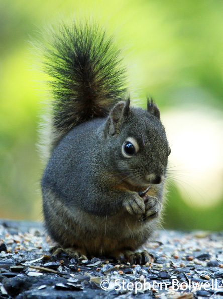 The Douglas Squirrel is a true native to the area and one of my favourites