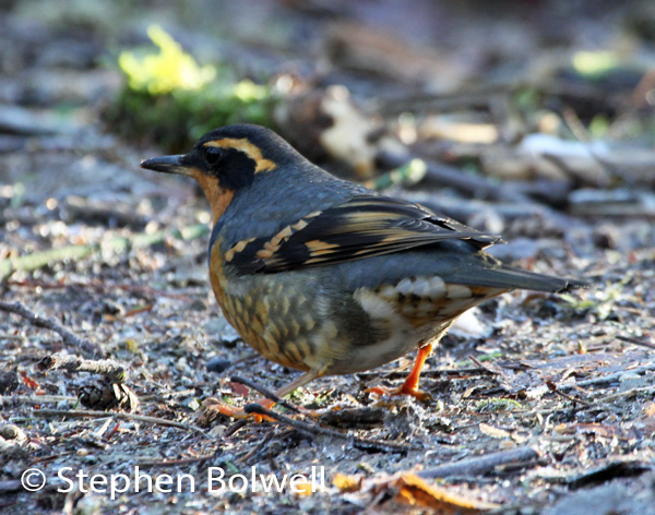 A winter visitor the varied thrush is the bird I have really come to photograph.