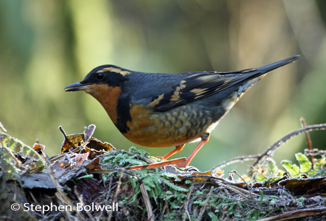 Perhaps the nicest picture I managed of the varied thrush before I lost the light, but nevertheless a third leg appears to have fallen onto the ground beneath the bird, which is entirely in keeping with this surrealist afternoon