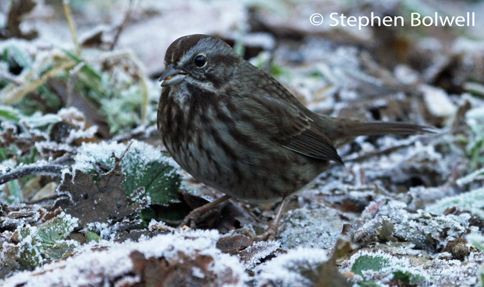 The frost has been around for days - nothing thaws and the birds are suitably fluffed up - this song sparrow is't singing now - but if he makes it through to spring he will be.