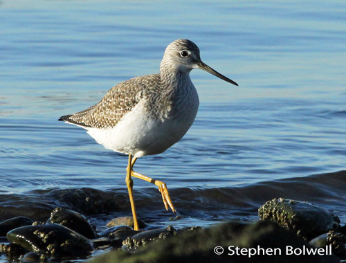 A juvenile yellow legs walks towards the camera, when birds re disturbed by photographers often they are pictured moving away.