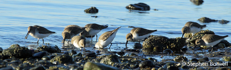 These birds I initially thought were Western sandpiper, but more likely they are dunlin. These have flown in to feed quite close to me. I remain in one place about thirty feet away and their indifference to me is encourging.