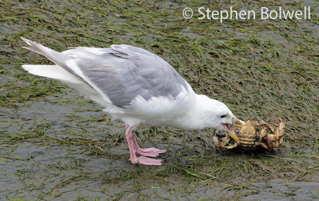 A gull takes on the remains of a crab in the tidal area - the view maybe an observation from above, but you can see what is going on very successfully, at ground level you probably wouldn't get this close.