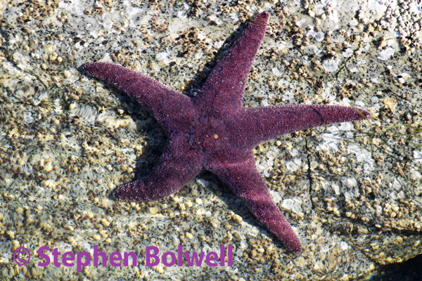A beautiful and healthy purple star photographed in early October 2013 before they creatures began disintegrating into a pulpy mess.