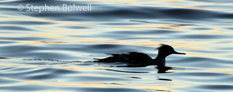 A merganser - one of perhaps a dozen, moving down this beautiful coastline as the sun sets.