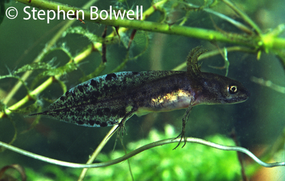 The developing larvae of a great crested newt sometimes known as an eft.