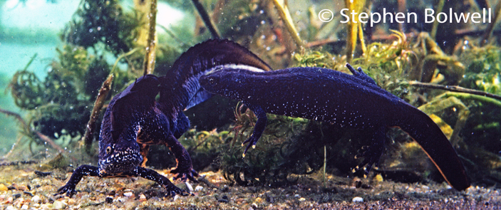 A male great crested newt displays to a receptive female. He will arch his body, waggle his tail and often thrash violently towards her. This soon clouds the water, so much so, it is impossible to film - here, he has cleaned away most of the detritus  on the gravel around him