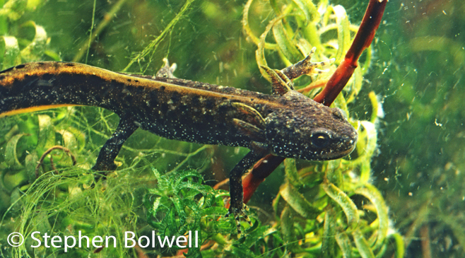 This eft still has gills, but has fully developed functional lungs and gulping air, it will soon be leaving the water.