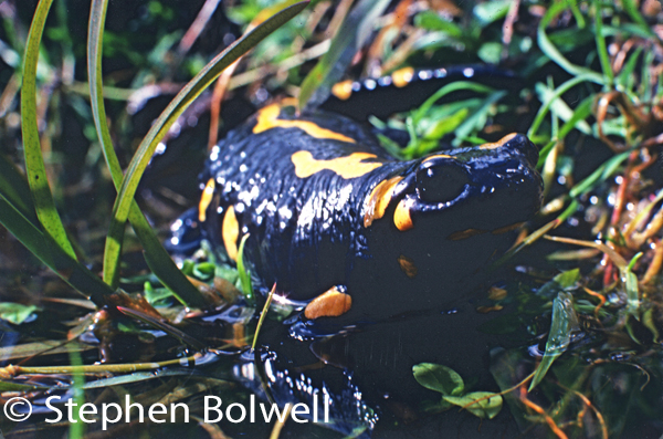 A female European spotted salamander comes to water to give birth to her offspring.