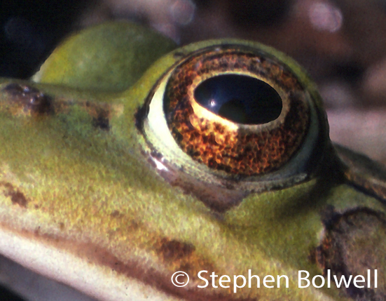 An edible frogs eye. The amphibian eye is very beautiful, but it gives little away.