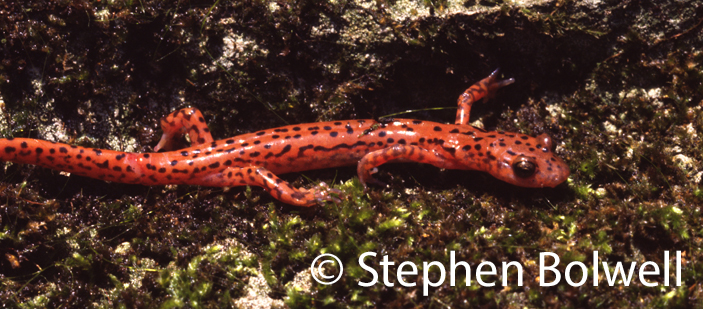 This North American red salamander is also very colourful, but many species are less inclined to be dandies.