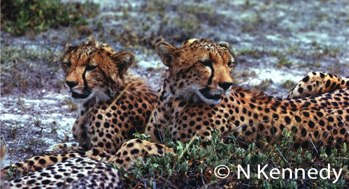 With cheetahs - there's a lot of sitting around waiting.