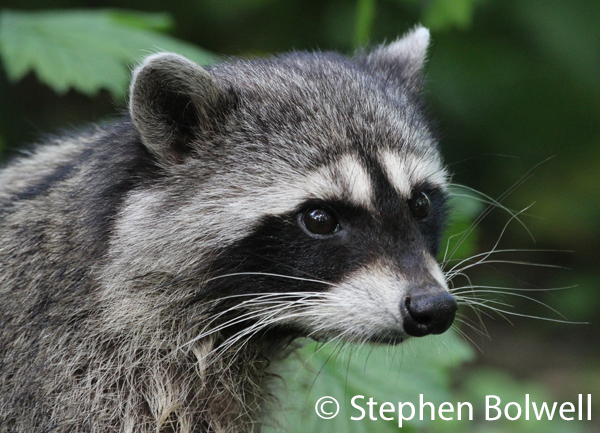 A young racoon living appropriately where he belongs in North America.