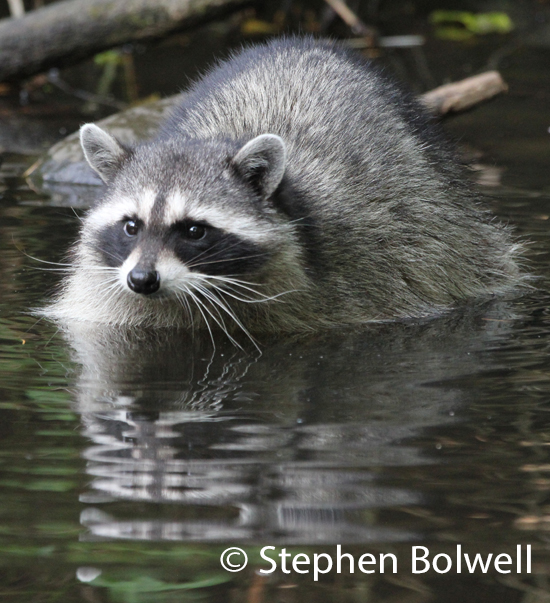 Another raccoon in a natural situation in Canada.