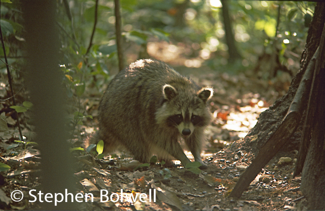A raccoon in natural habitat on the North East Coast of North America.