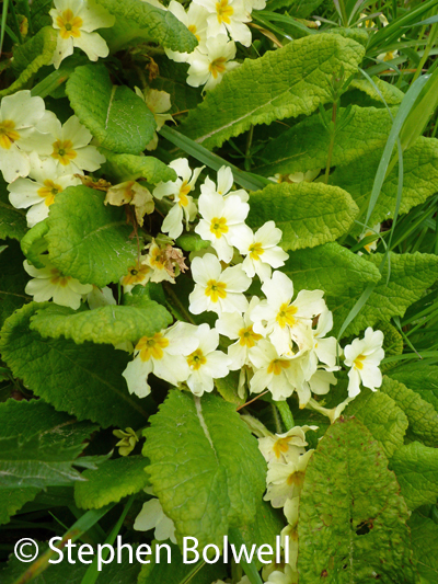 My favourites are primroses.