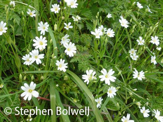 Roadside wild stitchwort flowers.