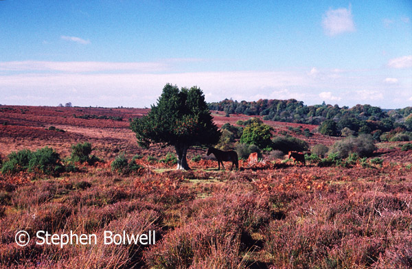 Classic New Forest Heathland during summer as it was at the end of the 1990s as ponies come to a lone holly tree to seek shelter.