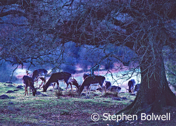 Besides livestock, a great many deer graze within the Forest. Fallow are though to have been introduced by the Romans and they remain very successful.