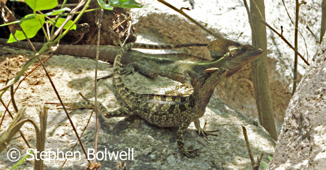 This pair of basilisks remained together for some time, largely ignoring me as I didn't get too close and went only when their chosen sight went into shadow. rock.
