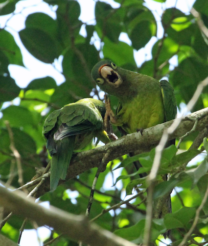 These are orange-fronted parakeets, despite their name they look more parrot than parakeet.