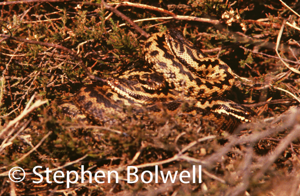 A closer view: the female is the browner bodied individual near the front, the four sleeker males above her are lighter in colour - they have recently emerged from hibernation and are attentive to the female. Lying together increases their body temperatures. A week or so later the males performed the adder dance, a wonder of nature that few will ever see.
