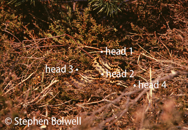 Courting adders in spring, a female, with four males in attendance in the mid-1970s. (The females head is not visible). This picture was taken to the left of where the dog is standing in the previous picture. On a spring day in 2016 -  the heather has gone, entirely replaced by short grass and bare sandy soil.