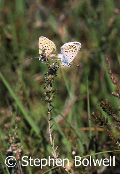 Silver studded Blue butterflies prefer short heather and there have been years when for a few short weeks the heath here has been busy with them.