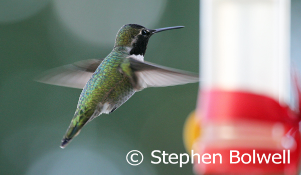At a particular angle or in poor light the irridescent throat of this male Anna's hummingbird is not clearly differentiated.