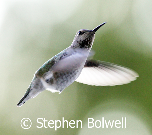 Flying between low flowering plants presents a danger to hummingbirds from predators such as cats which are out of all proportion to predator numbers in a natural environment.