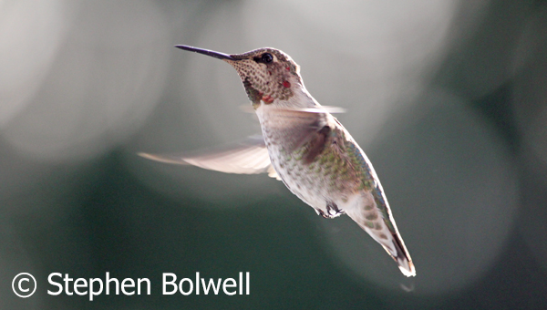 An immature male Anna's Hummingbird with developing irridescent throat feathers.
