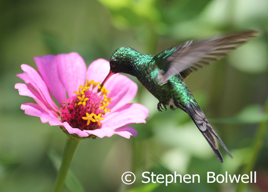 Vallarta Botanical Gardens - seldom have I felt more comfortable - it was the the beginning of the rainy season busy with my favourite birds - this a broad-billed hummingbird Cynanthus latirostris.