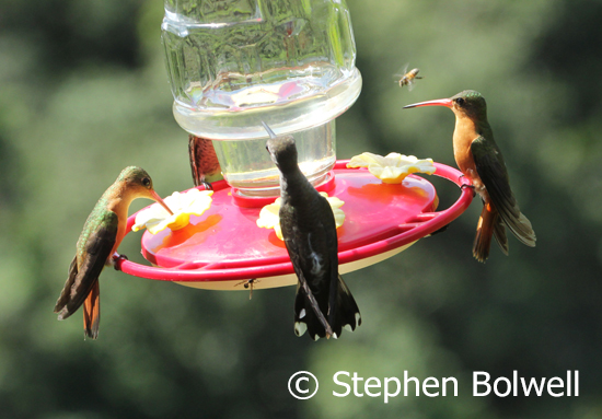 One of the hummingbird feeders that never seemed to be short of visitors.