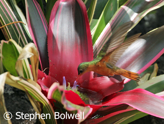 A cinnamon hummingbird visiting a bromeliad flowering in the garden.