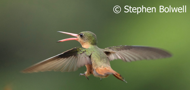A hummingbird can metabolise sugars very quickly making an early morning intake of nectar avaibale as useful energy within about 20 minutes of feeding which is absolutely essential to survival.