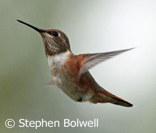 A rufous hummingbird.