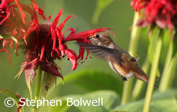 A rufous hummingbird feeding on bee-balm flowers.
