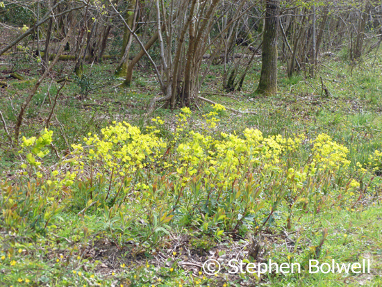Wood spurge growing nicely, and celendines in the foreground along with wood anemones behind starting to come into flower. This kind of ground cover is non-existent on the open areas of the New Forest.